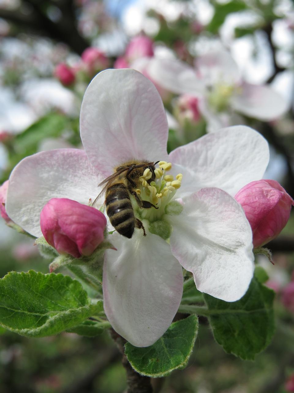 средних картинка пчела на цветке яблони ранних советов