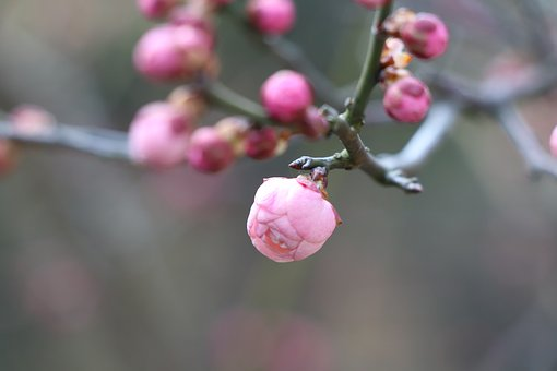 Nature, Plum Blossom, Bloom
