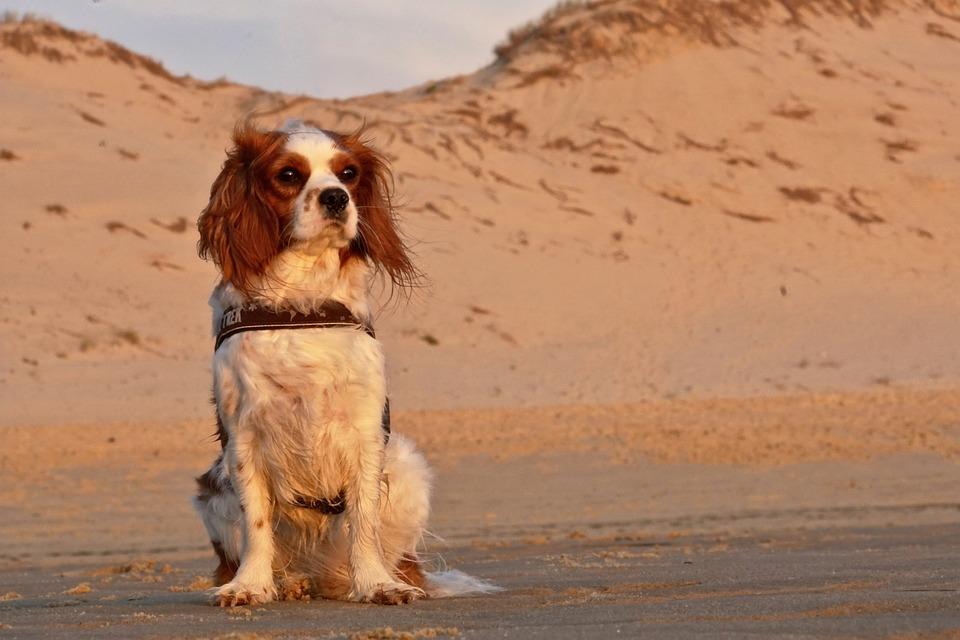 Good Cavalier Canine Adorable Dog - dog-3170796_960_720  Snapshot_94650  .jpg