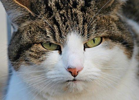 猫, 二日酔い, 不機嫌, 邪魔, 肖像画, 塞ぎます, 国内の猫, 毛皮, 目