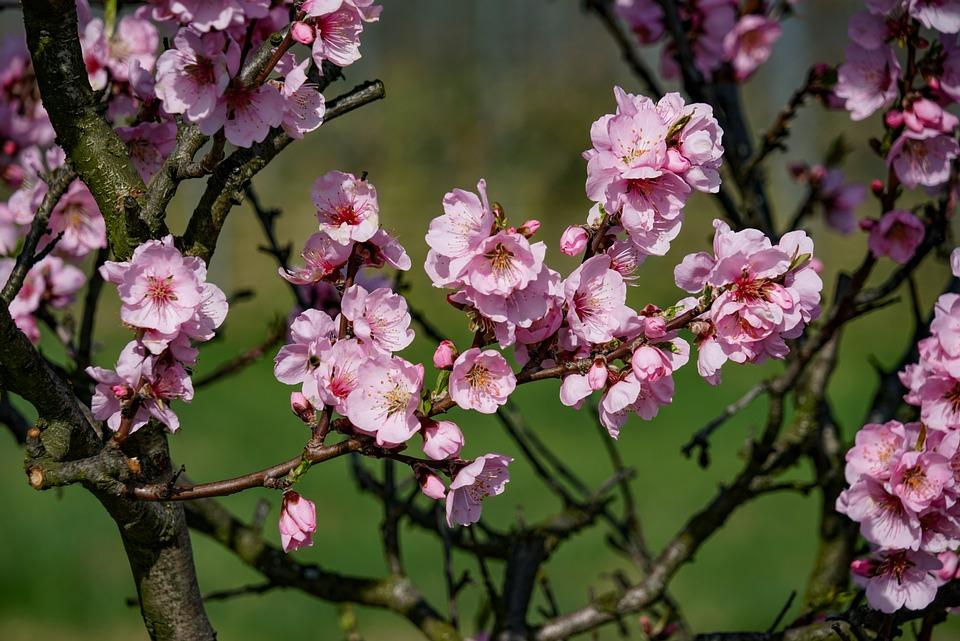 almond-blossom-3171746_960_720.jpg