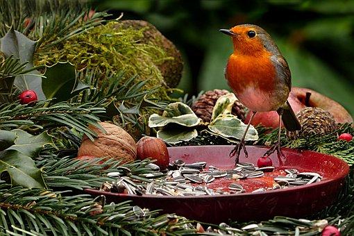 animal bird robin erithacus rubecula - Free Pics Of Animals