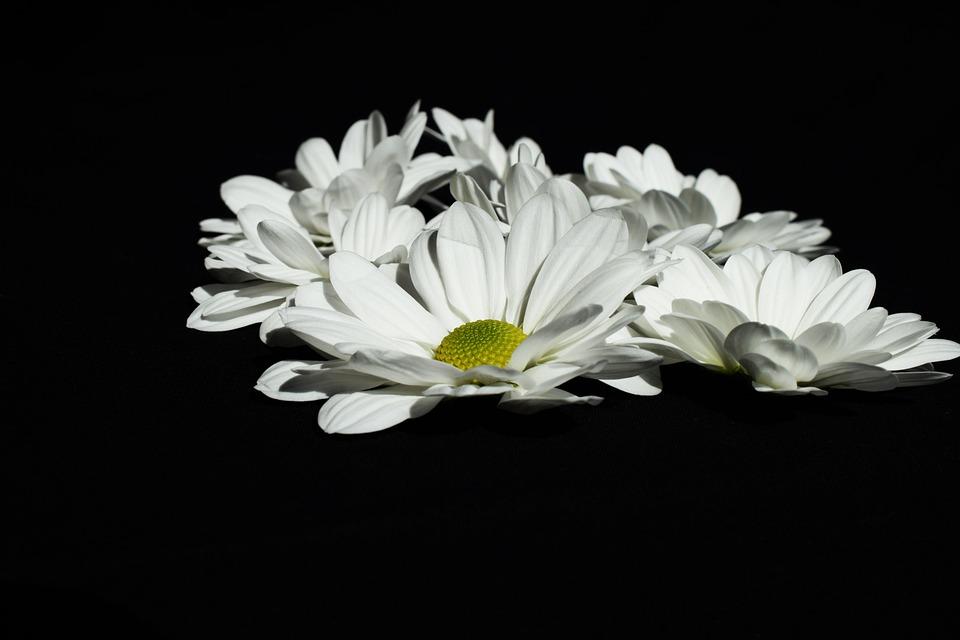 White black color free photo on pixabay white black color flower mightylinksfo
