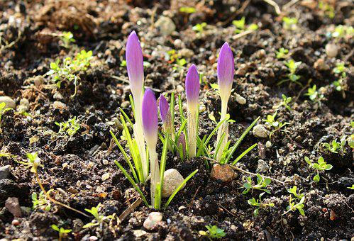 Crocus, Spring Flowers, Early Spring