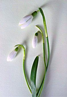 snowdrop images pixabay download free pictures