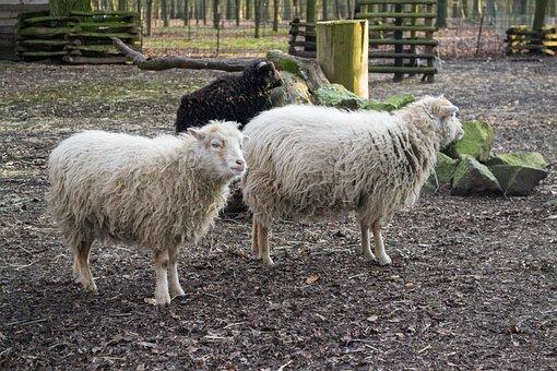 Farm, Sheep, Agriculture, Mammal
