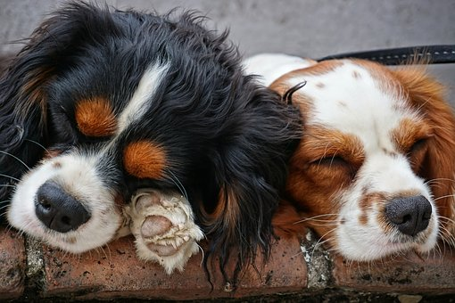 Perros, Mamífero, Mascotas, Animales