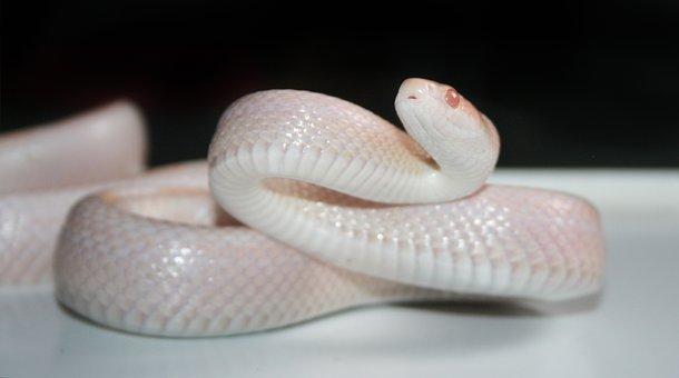 Reptile, Nature, Snake, Corn Snake, Opal