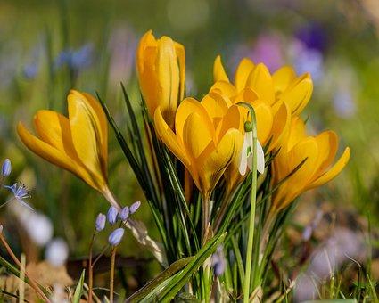 Krokus, Bloem, Bühen, Gele, Plantaardige
