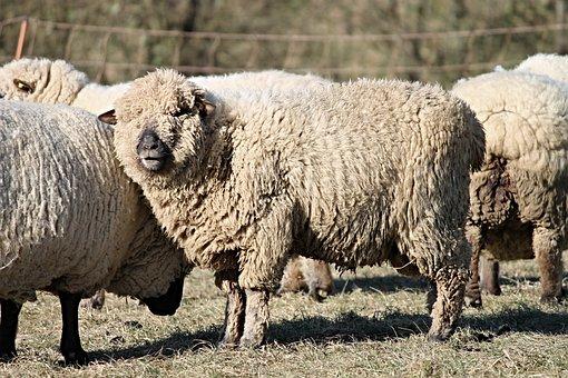 Sheep, Wool, Wool Sheep, Fur, Pasture