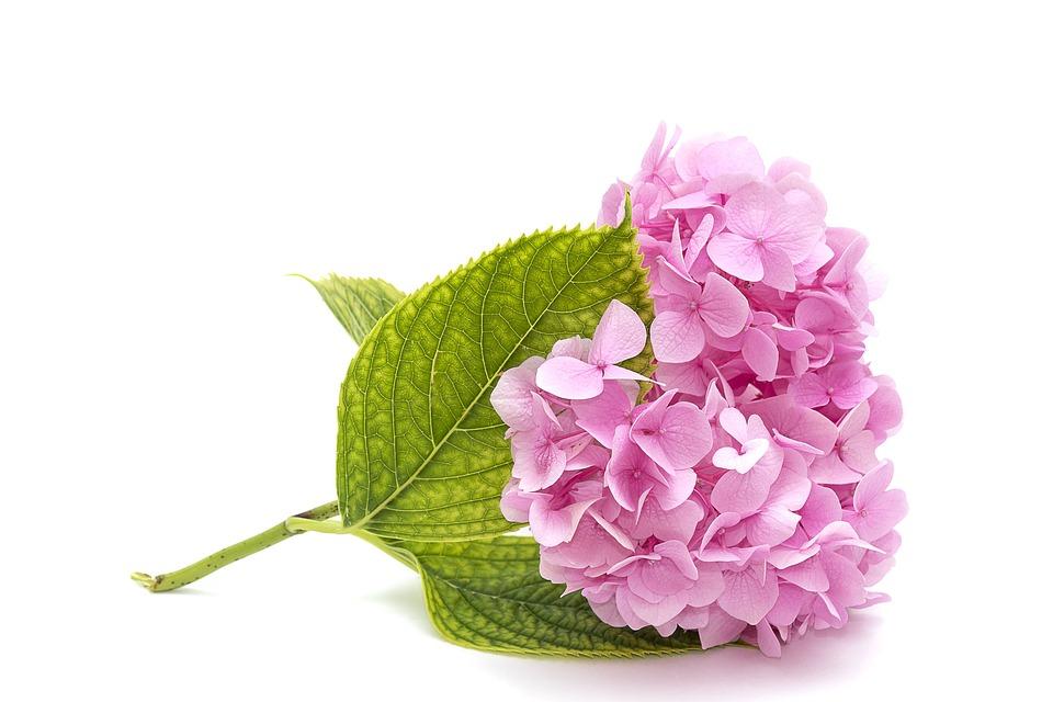 Ροζ Ορτανσίες, Φύλλο, Desktop, Φύση, Λουλούδι, Closeup
