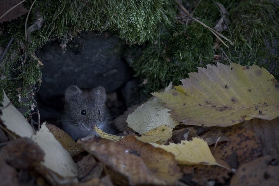 vole hiding in the leaves
