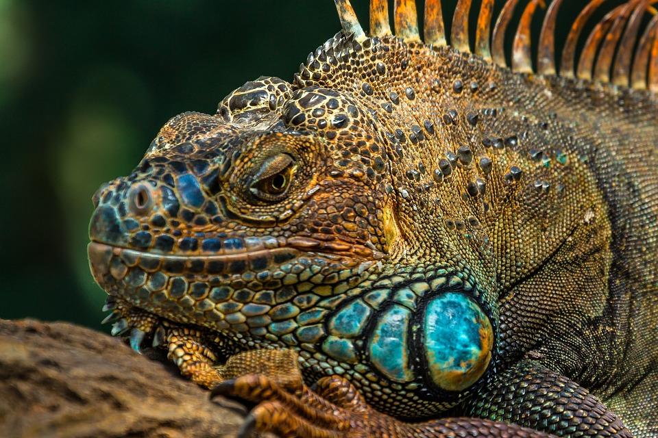 蜥蜴, 爬行动物, 性质, 动物, 龙, 变色龙