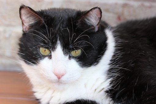 Černé plešatý kočička obrázky