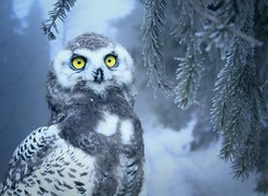 Owl, Snow, Snow Owl, Bird, Eyes
