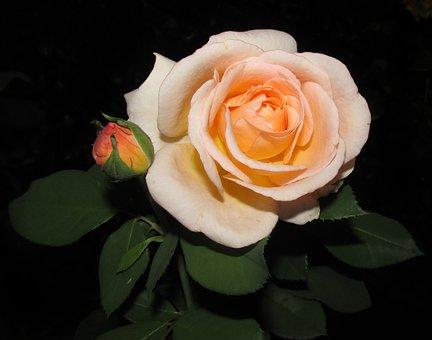 Rose, Flower, Petal, Love, Romance