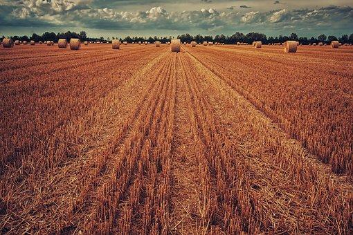 7 ноября сбор зерна составил 123,9 млн тонн, из них пшеницы - 77,6 млн тонн