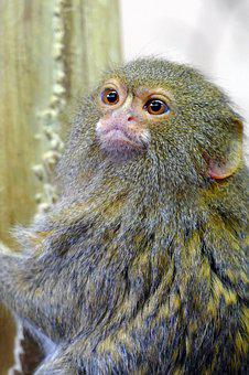 Pygmy Marmoset, Wildlife, Monkey, Animal