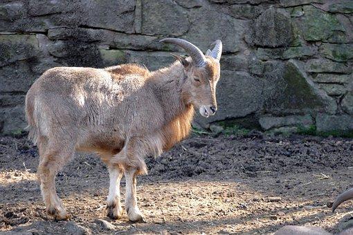 Mountain Sheep, Nature, Animal, Mammal