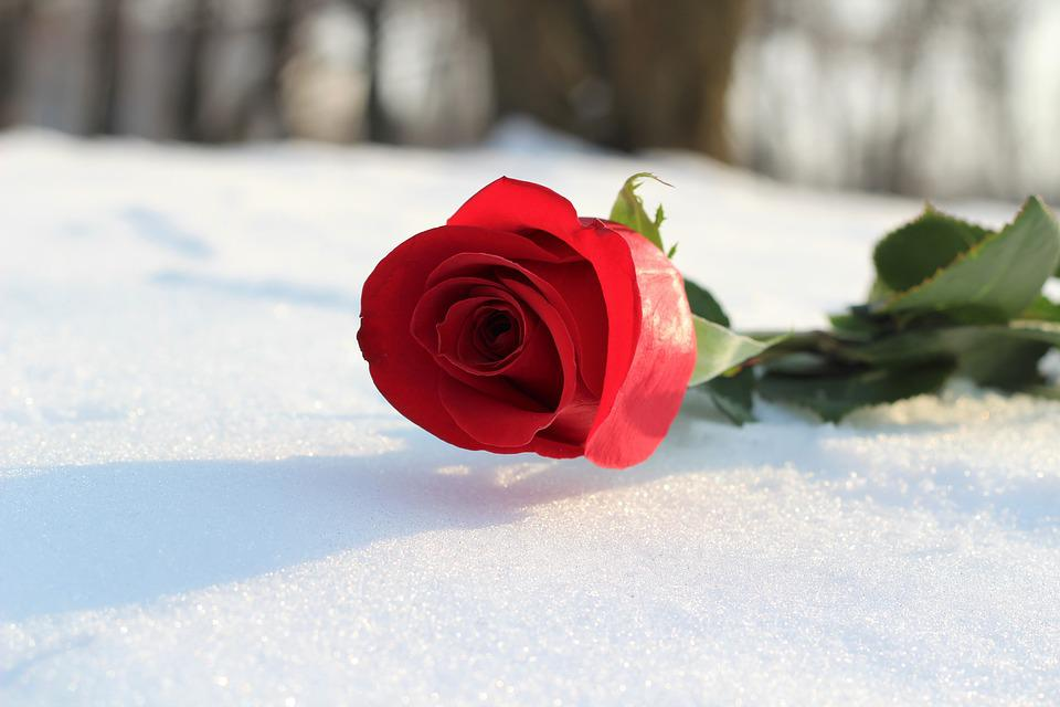 Red Rose In Snow Love Symbol Free Photo On Pixabay