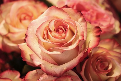 Rose, Flower, Petal, Romance, Wedding