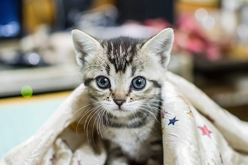 Hairiest eben mačička