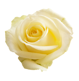 Yellow roses images pixabay download free pictures rose apg transparent background mightylinksfo Image collections