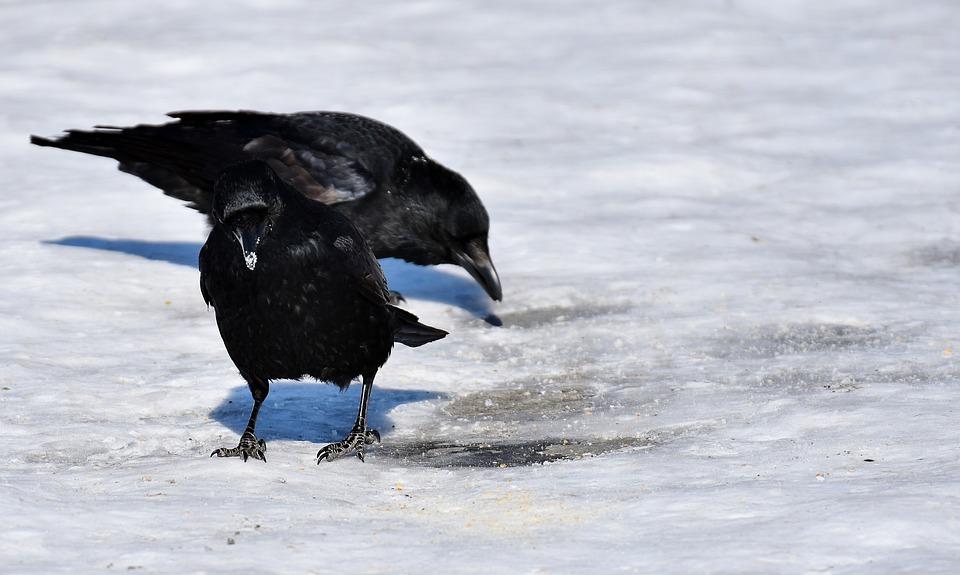 čierne vtáky