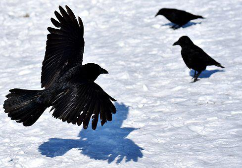 Common Raven, Raven, Snow, Winter, Cold