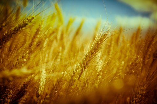 Trigo, Grano, Pan, Cultivo, Verano