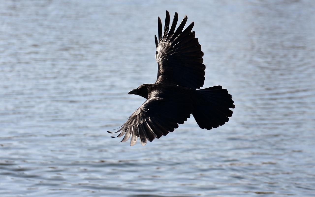 Картинки летящих воронов
