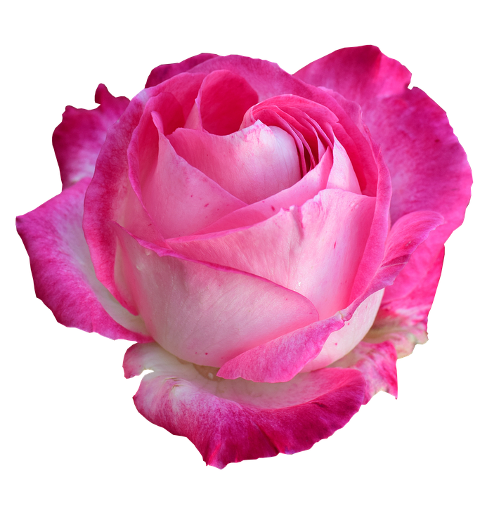 Rose Bright Png On Free Photo On Pixabay