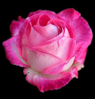 6000 Kostenlose Rote Rosen Und Rose Bilder Pixabay