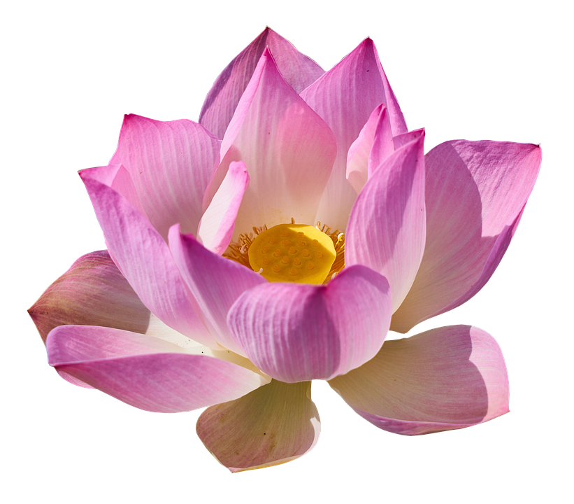 Lotus Lily Png Free Photo On Pixabay