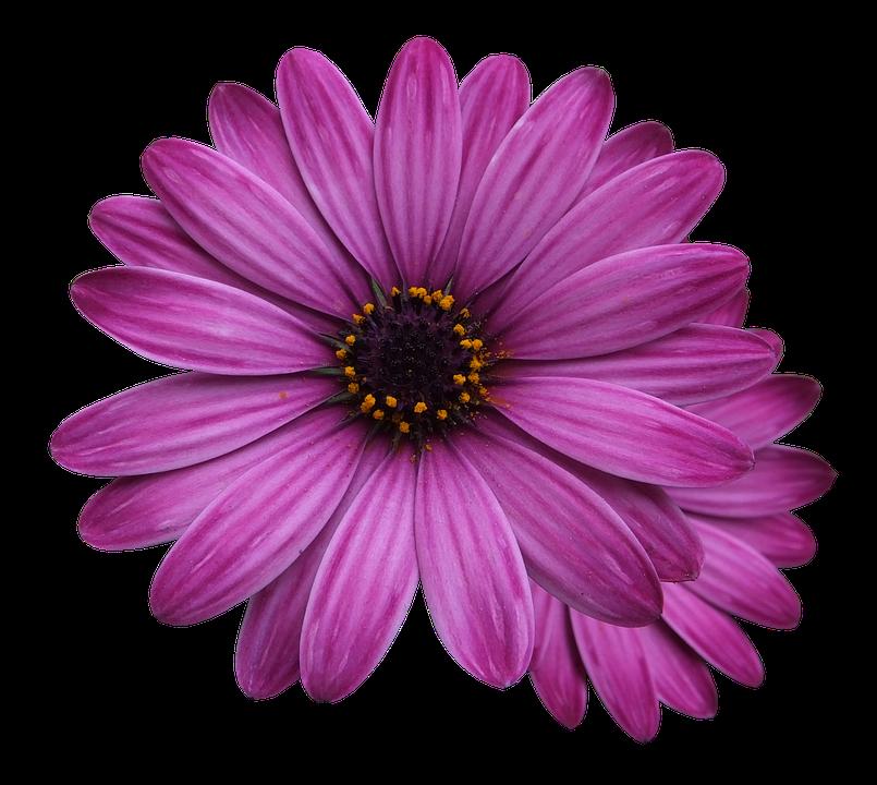 Purple Flower Clipart No Background: Flower Marigolds Purple · Free Photo On Pixabay