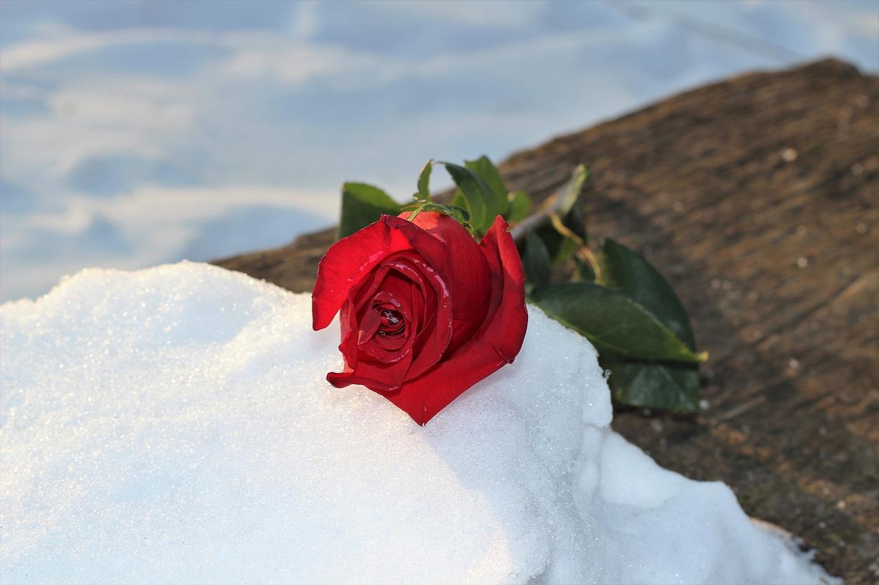 Картинки красные цветы на снегу