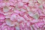 płatki róż, różowy, tle