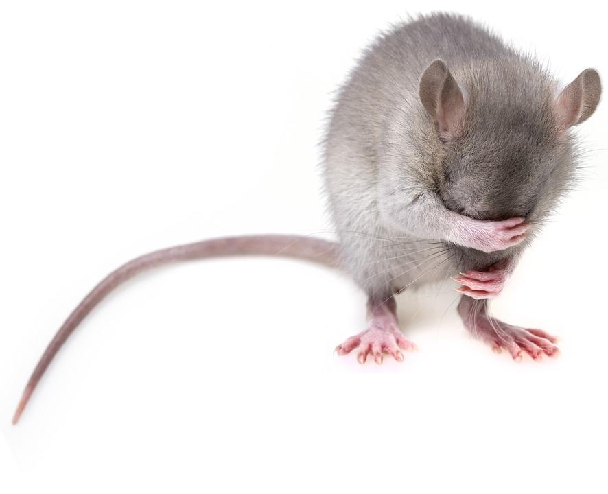 Мишка, Гризачи, Плъх, Мишки