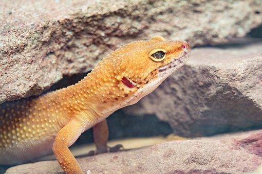 Gecko, Leopard Gecko, Reptile, Macro