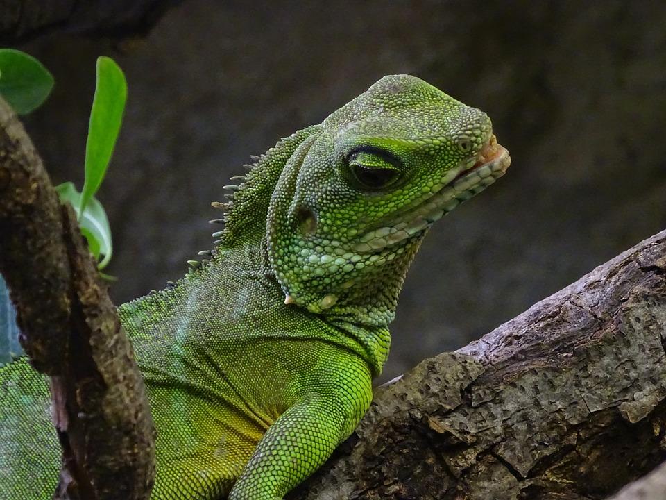 Lizard Terrarium Animals Green Free Photo On Pixabay