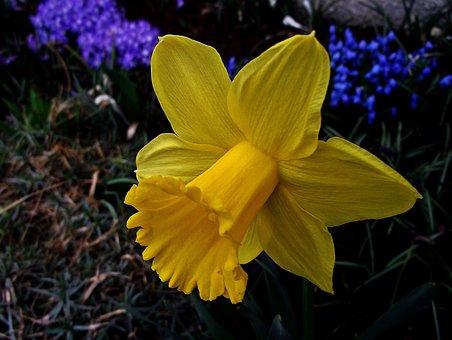 Nature, Fleur, Narcisse, Printemps