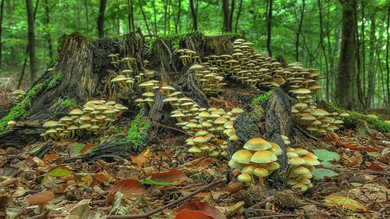 clumps of mushrooms grow from a tree stump in a forest