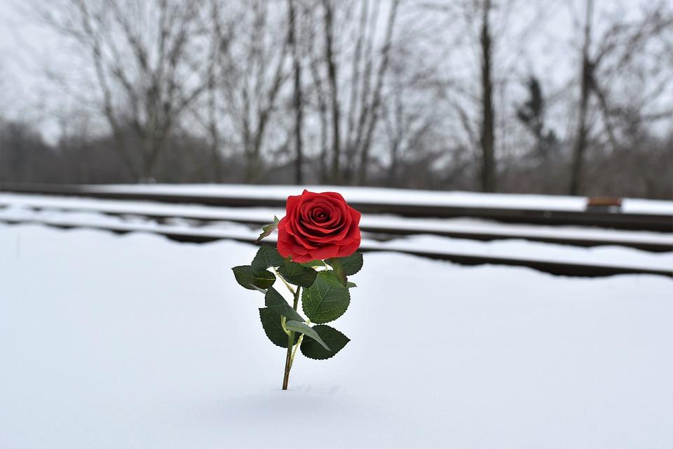 Rode Roos In De Sneeuw, Symbool Van De Liefde