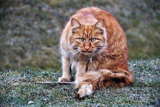 Kucing, Kucing Jantan, Berambut Merah