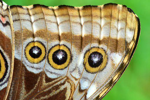 蓝色 Morphofalter, 形态 Peleides, 翼, 蝴蝶的翅膀
