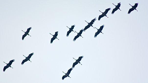 Migratory Birds, Cranes, Stork, Storks
