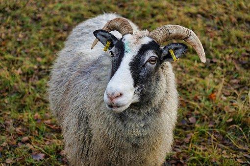 Nature, Grass, Animal, Sheep, Mammal