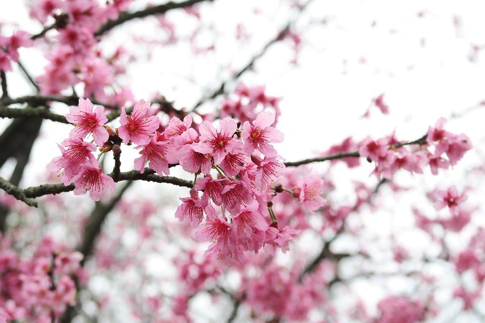 Branche De Cerisier bois de cerisier branche fleur · photo gratuite sur pixabay
