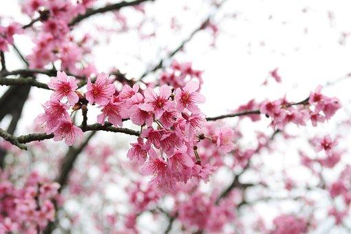 桜の木, ブランチ, 花, ツリー