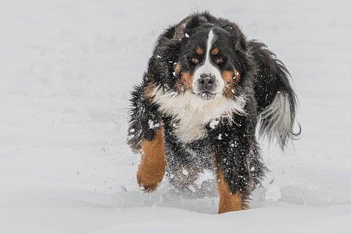 Bernese Mountain Dog, Cute, Animal, Dog, double dog coat types